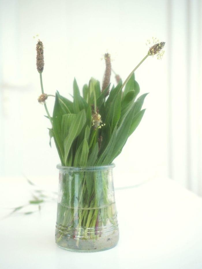 plantain lancéolé en cuisine